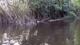 Yasuni N.P., Ecuador - Giant River Otters 2018 Nov. 18