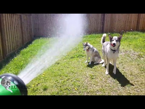 Dogs playing with sprinkler!