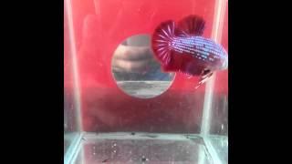 ikan cupang giant (ali putra betta borneo )