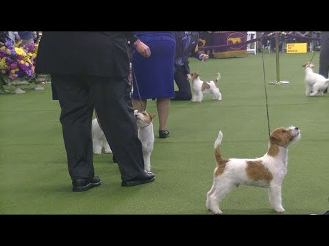 Jack Russell Terrier Westminster Dog Show 2020