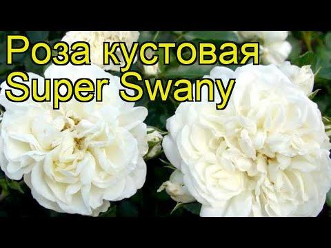 Роза кустовая Супер Свэни. Краткий обзор, описание характеристик, где купить саженцы Super Swany
