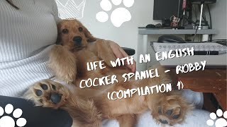 Life with an English Cocker Spaniel  Robby (Compilation 1)
