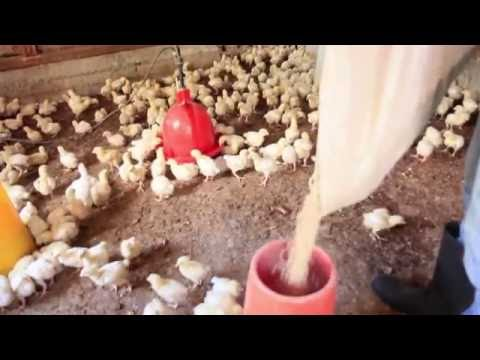 Buy Local Chicken in Grenada - Protein From Waste And Local Crops
