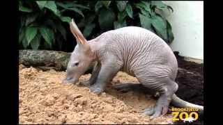 Забавное животное Aardvark ))