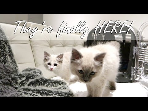 Bringing our Ragdoll KITTENS home!