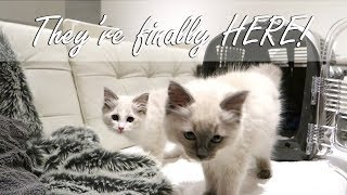 Bringing our Ragdoll KITTENS home! | Ragdolls Pixie and Bluebell