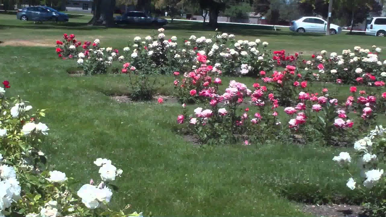 another shot of the roses in the rose garden in nampa idaho