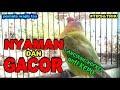 Cara Membuat Nyaman Lovebird Balibu Anti Kepo Dan Sukses Gacor Digantangan Juara  Mp3 - Mp4 Download