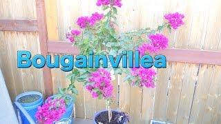 Bougainvillea Care - Transplanting