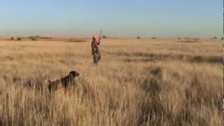 German Shorthair Pointer Pheasant Hunting