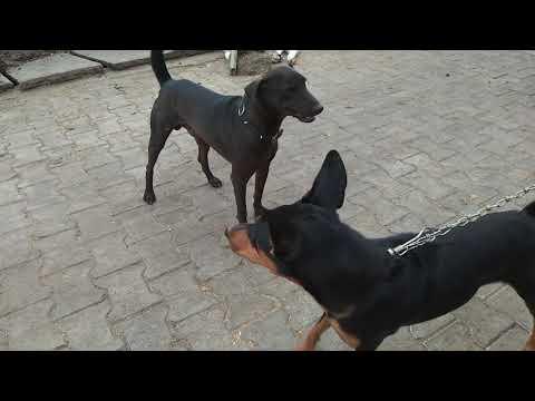 A Dauberman vs Kalu (Street Dog) King.    .Part 2.