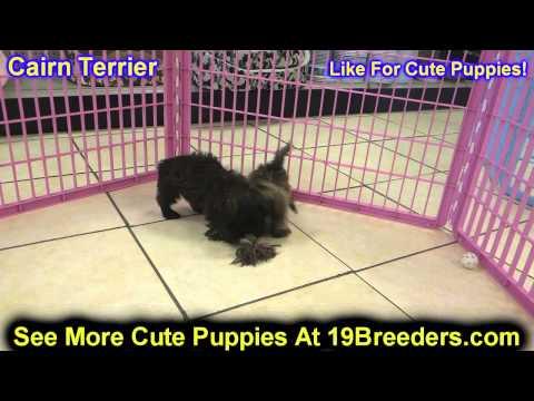 Cairn Terrier, Chiots, Pour, Vente, En, Alberta, Canada, Provinces, La Colombie Britannique, Manitob