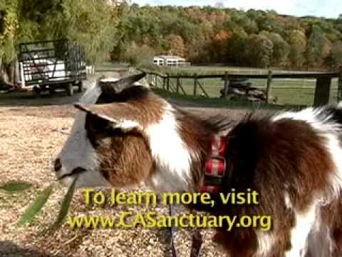 Baby goat at Catskill Animal Sanctuary