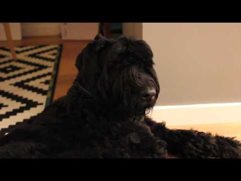 Black Russian Terrier begs to be patted
