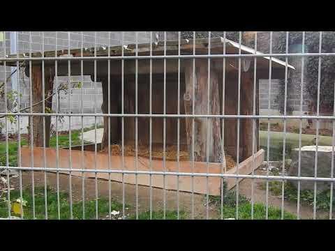 歩き回るバーバリライオンのオス Barbary Lion 2015 1115