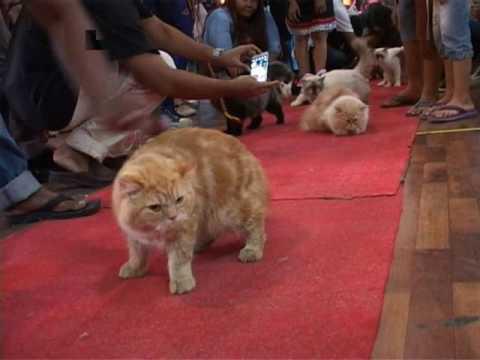 Kontes Kucing Cantik di Medan