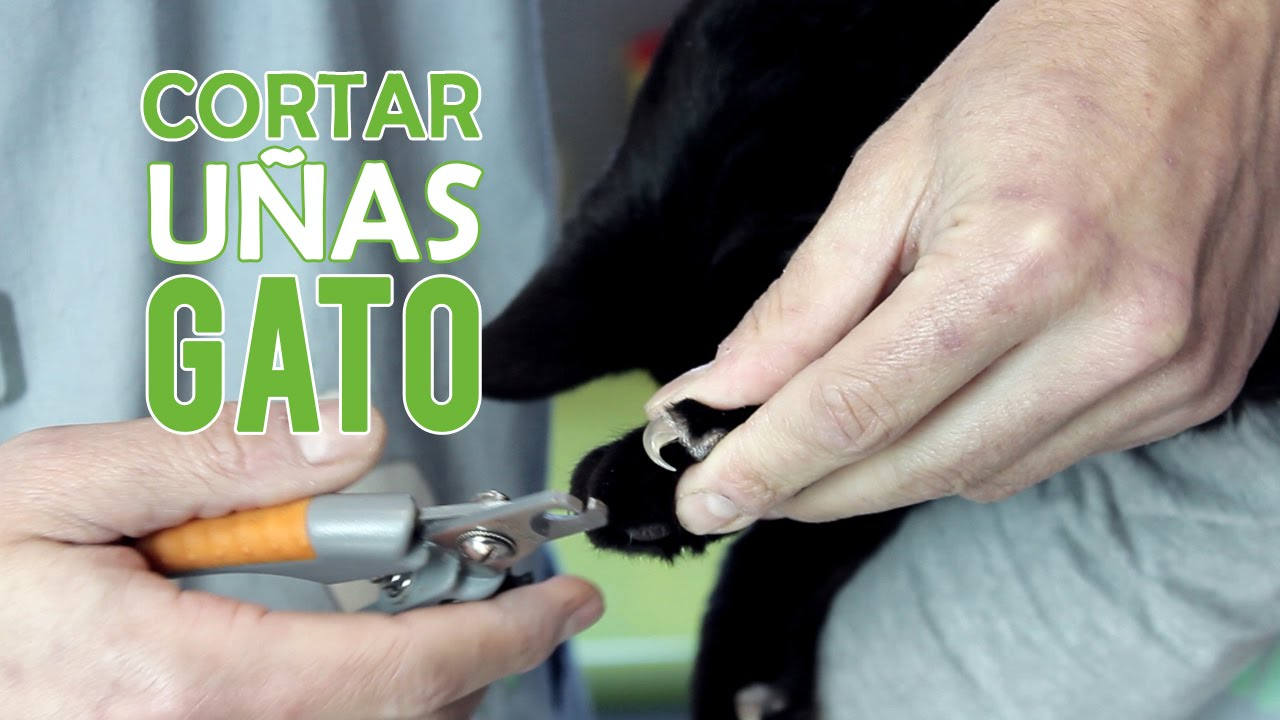 Como Cortarle Las Uñas A Un Gato | Cortar Uñas Gato - YouTube