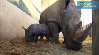 Naissance d'un rhinocéros blanc !