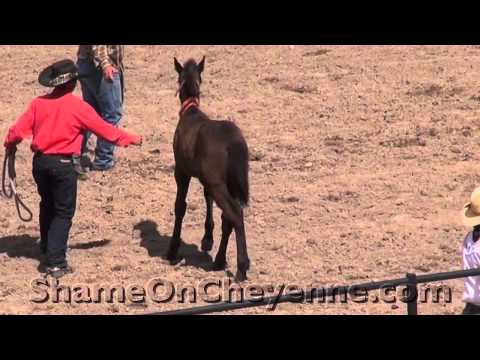 Baby Horses Crash to Satisfy Cheyenne Rodeo Fans