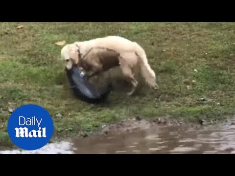 Dog Catches HUGE Catfish And Drags It Out Of A Lake!