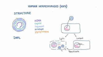 Introduction to Human Herpesviruses (HHV)