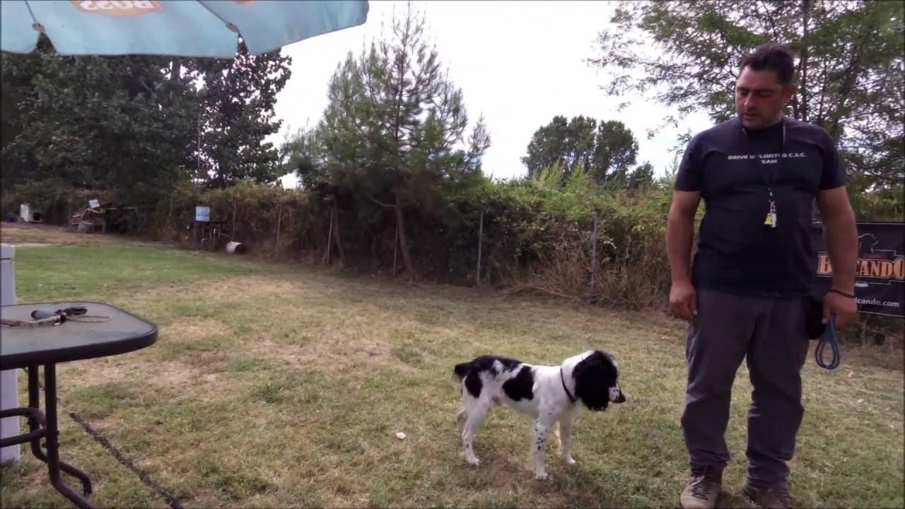 English Springer Spaniel Training