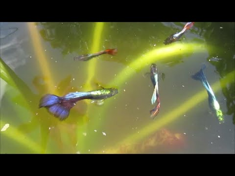 Neon blue guppies make good pond fish because of their for Good pond fish