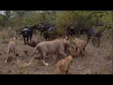 lion and buffalo fight