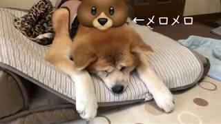 オカメインコのさくらを連れて、姉のところへ。 秋田犬とアイリッシュセ...