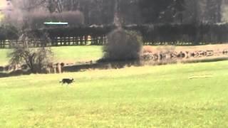 Layla the Malamute Lure Coursing