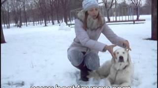 Как приучить собаку к ошейнику и поводку(Приучение собаки к ошейнику и поводку - просто , главное посмотреть видео, взять собаку и начать обучение...., 2013-03-18T10:29:18.000Z)