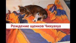 Роды  собаки чихуахуа. /Наша чихуа родила  двух щенков / Германия