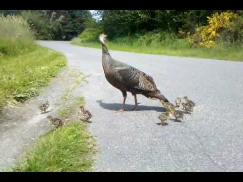 Turkey mom signals danger to her chicks. See what happens!