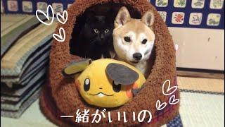 同棲発覚!1つのハウスで寝ようとする柴犬と黒猫、仲良しすぎる姿が可愛すぎた