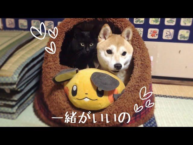 わざわざ一緒のハウスで寝ようとする柴犬と黒猫 Dog and Cat want to sleep together