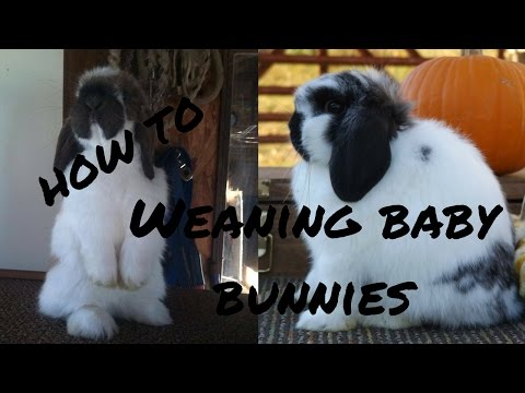 Weaning 8 Week Old Rabbits! | How To