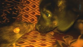 Крыса Дамбо знакомится с щенком / Curious Dumbo rats and puppy