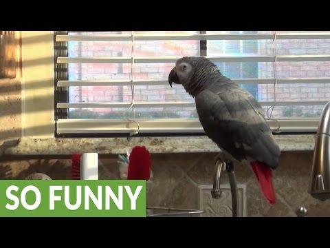 Einstein the Talking Parrot's spoon drop