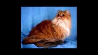 Персидские Коты-Прямой Эфир, обработанное