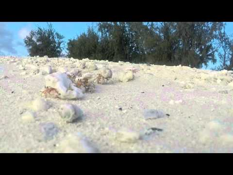 Wake Island Hermit Crabs in action