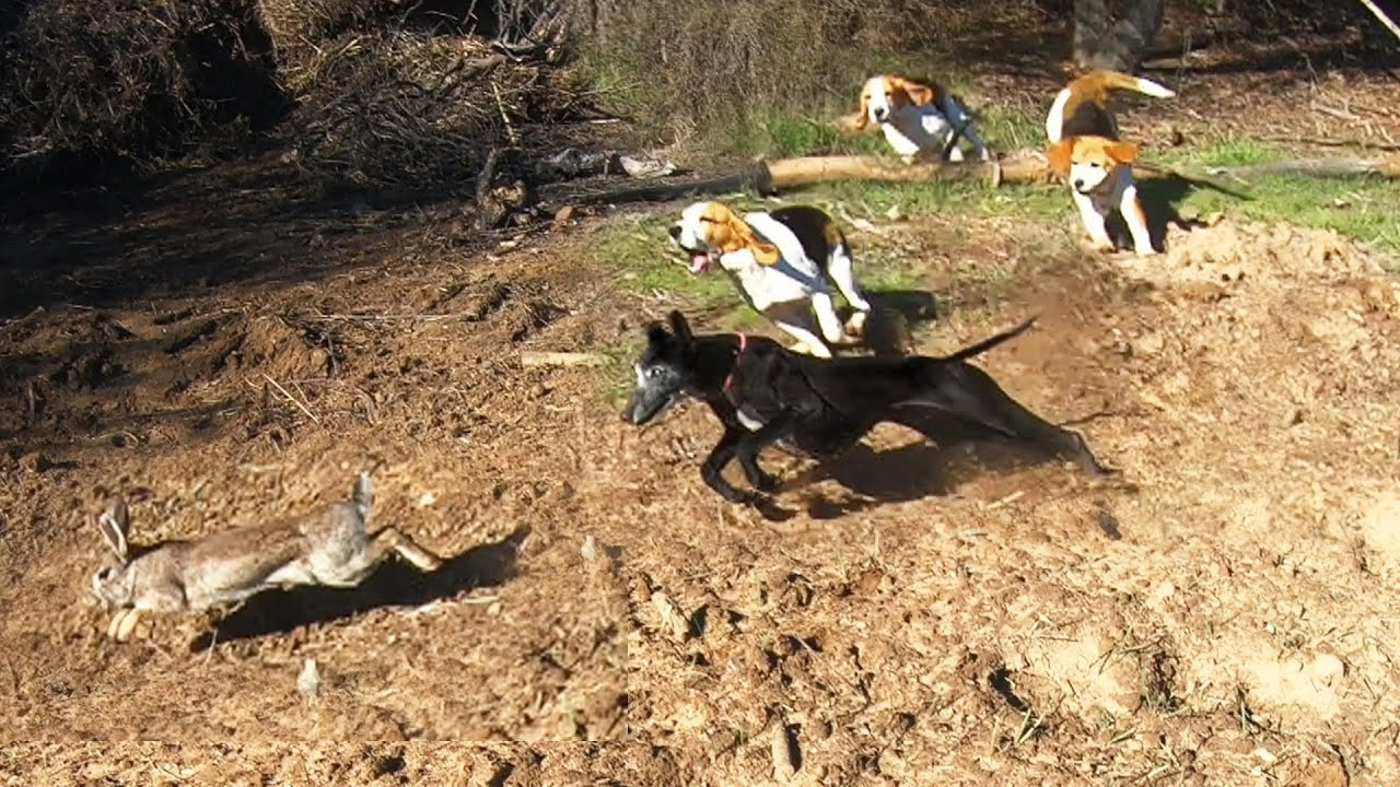 Cacería de conejos en el Monte    Terrenos Difíciles
