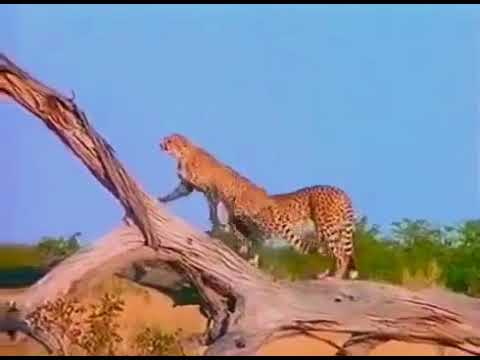 Documentary The Savage Life National Geographic Documentary 360p