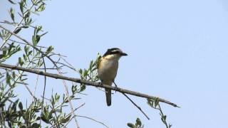 Video Masked Shrike ( Lanius nubicus) - Cyprus download MP3, 3GP, MP4, WEBM, AVI, FLV Juli 2018