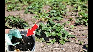 Эта весенняя подкормка для клубники просто бомба роста! Каким навозом подкормить клубнику весной?