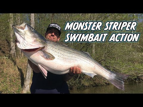 Arkansas River Monster Striper ON SWIMBAIT!