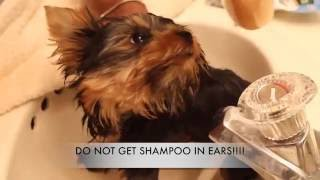 HOW TO BATHE A YORKIE | QUILLABEAUTY