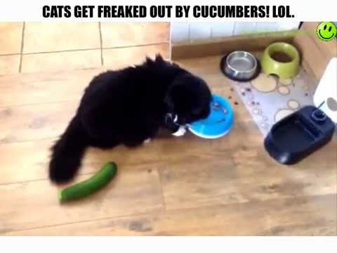 Cats Freaked Out By Cucumbers!