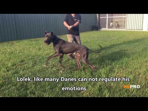 Great Dane  Anxious, nervous, aggressive