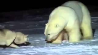 Бой маламута с белым медведем  Лучшие бои животных Смотреть интересное видео
