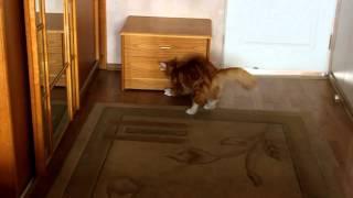 Мейн-кун - это порода кошек с интелектом собаки.(Мейн-кун - это порода кошек с интелектом собаки. В главной роли - Емиль Барнаба в возрасте 8 месяцев. Питомник..., 2012-06-04T17:52:10.000Z)